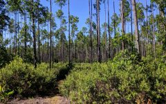 The scrub pine fields of the St. Francis trail are stunning to explore.
